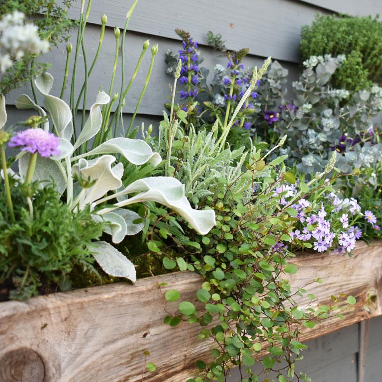 Beet- und Balkonpflanzen bepflanzter Kasten Eukalyptus Lavendel Angelwings